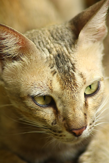 aggresive eyes ..mmeeooww #canonphotography #crazyforclicks #loveforphotography #catphoto #animalphotography