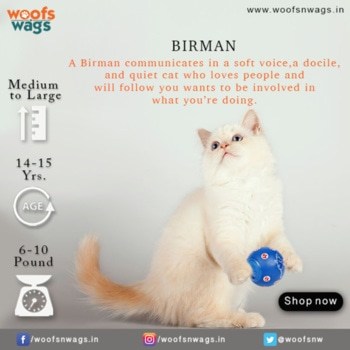Birman is a calm, affectionate and a friendly cat who loves to be around people and can adapt to any type of home. He likes to play chase with other pets and make friends with kids, dogs and other cats. This plastic snack ball filled with treats and the snacks keeps the cat amused for a long time.  Shop Now: http://bit.ly/2h5umDg  #woofsnwags #woof #wags #tail #instacat #snackball #snacks #treat #catlover #catoftheday #ilovemycat #whitecat #birmancat #catsofinstagram #cats #catstagram #woofsnwagsdotin #cat #my_pet_feature #petlover #petlove #meow #kitten #ilovemycat #kittenlove #catsofinstagram