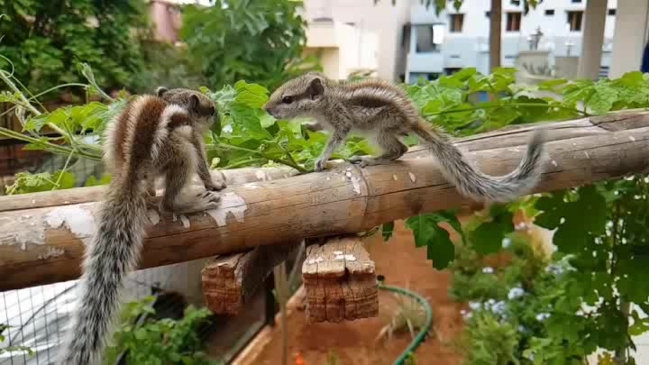 #squirrellove #squirrels  #babysquirrel #cuteanimals  #pet  #loveandcare #playtime #nature #brothers #brotherlove  #siblings  #rescued #petphotography #pets  #adorable 😍😘😘  #squrriellife