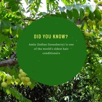 Amla being one of the most nourishing herbs, is a natural hair conditioner which makes your hair thicker and stronger.  #synaa #amla #haircare #conditioner #hairconditioner #beauty #indiangooseberry #gooseberry #didyouknow #beautytips #facts