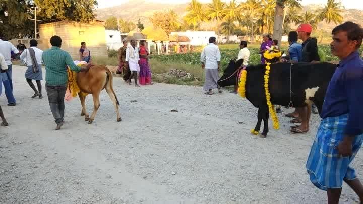 sankranthi festival