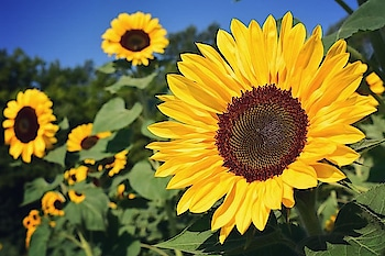 #summers #sunny #yellow #sunfl