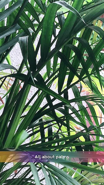 #palms #tree #leaf #photography #roposo #roposo-good #roposo-mood #roposoart #roposoartist #artist #photooftheday #roposodaily #beautiful #nature