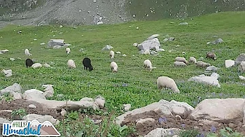 #sheeps #greenery #hillstation #naturesbeauty #himachalpradesh #roadtrip #hillyhimachal