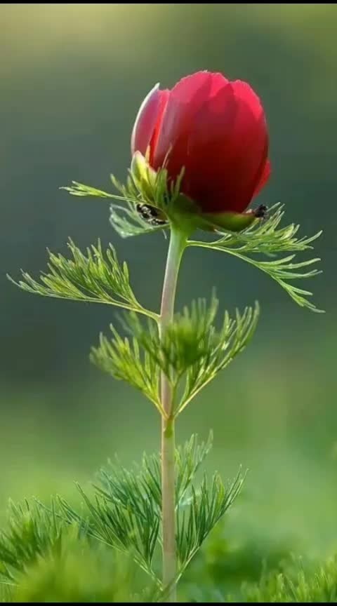 #goodevening  #rose #nature  #wallpaper
