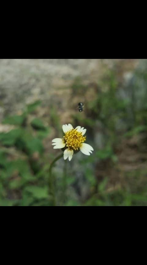 #nature #honeybee #yellow #flowers #yellowflowers #naural beauty #photography #macro #macrophotography #greenary #insects