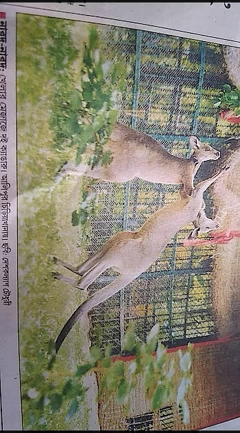 #kangaroo #playmode  @ #alipur #zoo