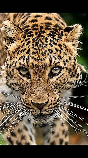 #leopardcat #wildlifephotography #strong #hd