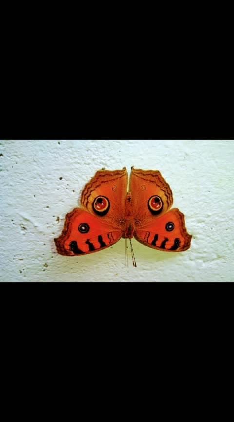 #butterflywings   #butterflylove #butterflys #facebook butterfly  #butterflyearings