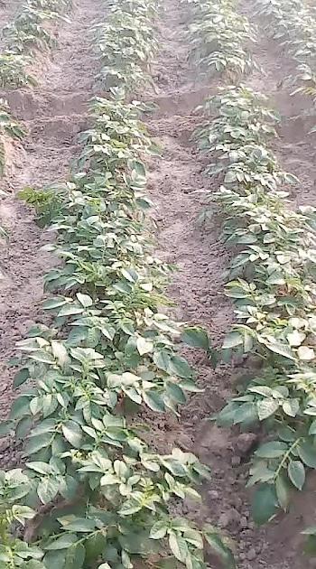 #potato-wedges