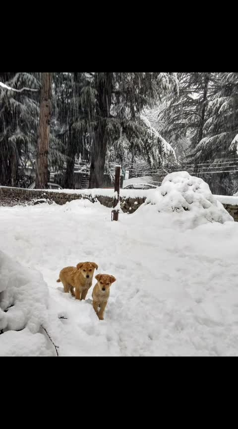 #puppies #in #snow #snowfall #manalidiaries #himachaliblogger #punjabi #ropoqueen #be-fashionable #travelblogger 💕😍❤