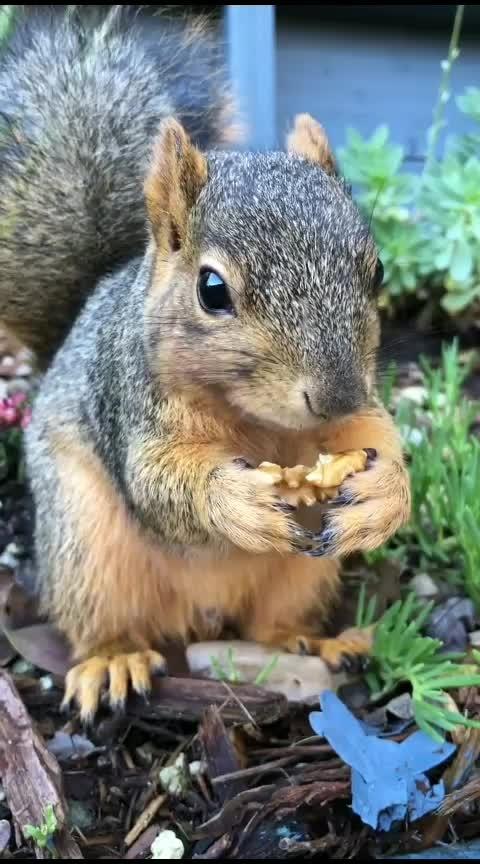 Wally eating a walnut 😍 #squirrels #cutenessoverload #squirrelsquad #wally