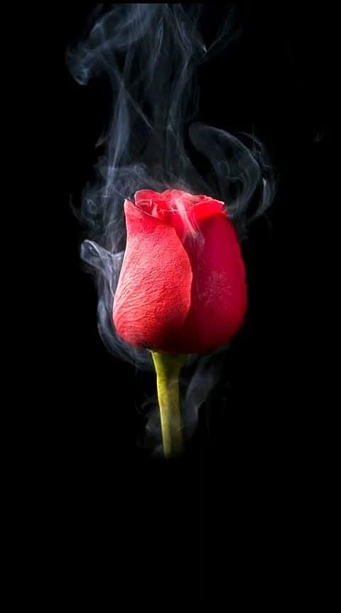 #happyroseday #roposo-wow #rose #february #roposofilmistaan