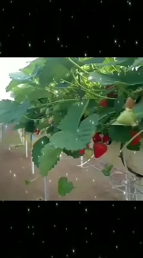 #strawberries #greenlove #openmyworld #ropo-beauty #ro-po-so #rop-love #strawbery