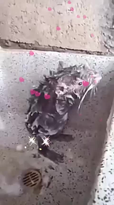 very@funny---Rat#bathing#with#shampoo