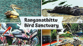 Ranganathittu Bird Sanctuary | Bangalore Road Trip | Travel Story #1 | SonaMeraki  Recently we went on a Road trip to Ranganathittu Bird Sanctuary from Bangalore. Its near by Mysore, so takes just a couple of hours by road and it's a must visit place for all Nature or Bird lovers. It's home to around 170 different species of Birds and I was so mesmerised by their beauty! 😍 . . . I have shared my experience of the entire trip in vlog style video in my channel(link in bio). Please do watch! I hope you guys will like it!💕 . . . . #Ranganathittu #birds #birdsanctuary #bangalore #roadtrip #mysore #travel #weekendtrips #traveldiaries #nature #love #birds #beautiful #mustvisit #travelstory #sonammahapatra #vlog #sonameraki