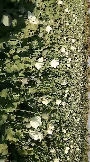 🌹🌹🌹🌷🌷🌷❤❤❤#roposo #field #ropsofields #agriculture #opium #opium sunglasses #agriculturesoulofindia #agricullture #agriculturelife #agriculturework #food #feed #take to all😊 #aakankshasworld #developer #famous #treanding