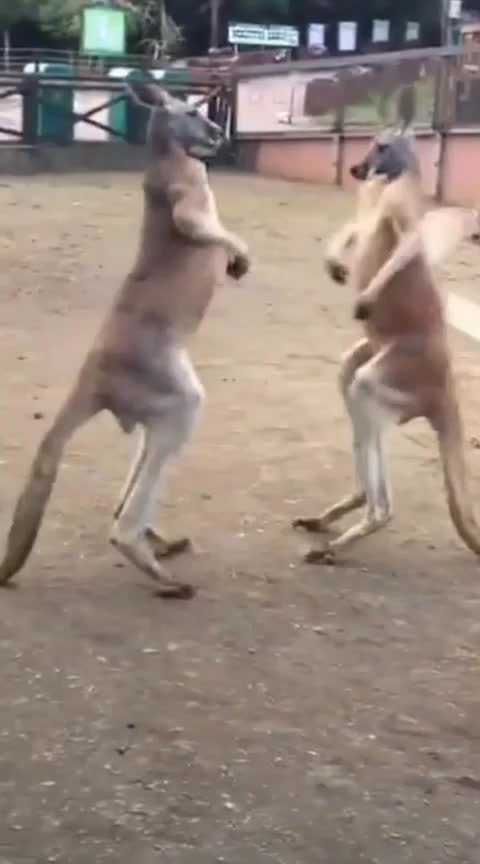 #kangaroo fight