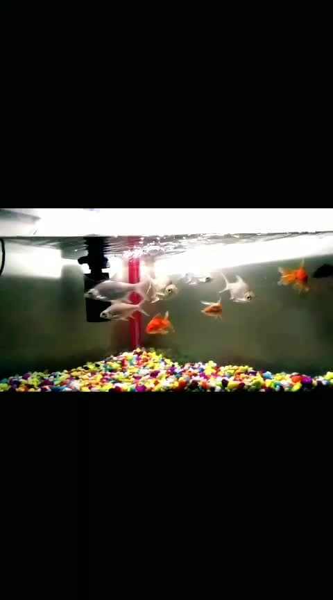 #fish #fishy#beautybox #aquarium #lovely#goldy#black-and-white #fishtail