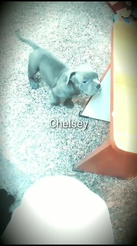 chelsey #americanbully #pocketsize #petlovers #best_companion #blueeyes #bonebreaker  #hugedogs #famous