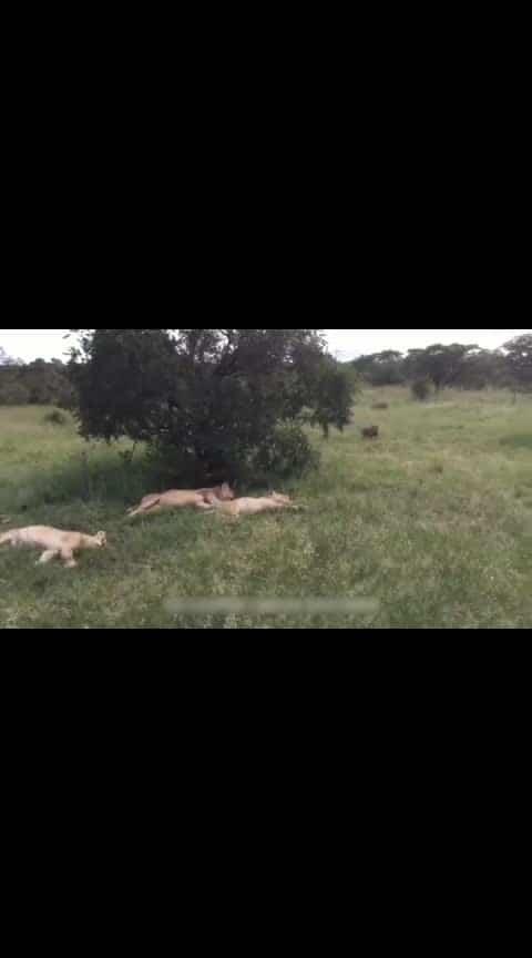 #indian  #wildlifesafari #lion #fears #kingofthejungle #simha #run