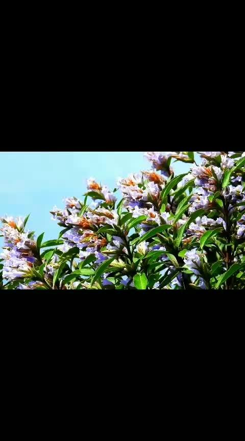 #kodaikanal  கொடைக்கானல் குறிஞ்சி மலர்கள்