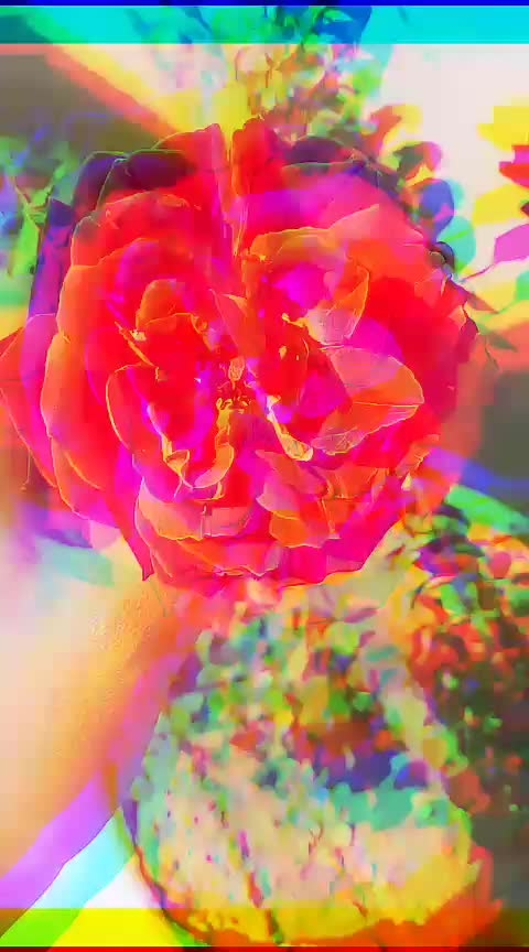 #गुलाब #gulab #red-rose #rose #stutas #stutswhatsapp #trendingonroposo #one_like #best #thanks-roposo-for-such-a-colourful-video