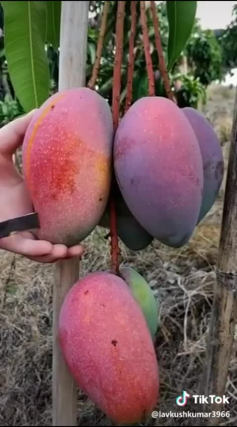 #wow #fruit #mango #summer vibes #roposo #roposostar #roposostarchannel #roposotv #roposobeats #roposochannals #roposotrendings