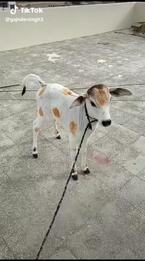 गाय का बच्चा 😘😘🥰 😍 #animal #petlove #awesomelook  #cuteness-overloaded  #beauty