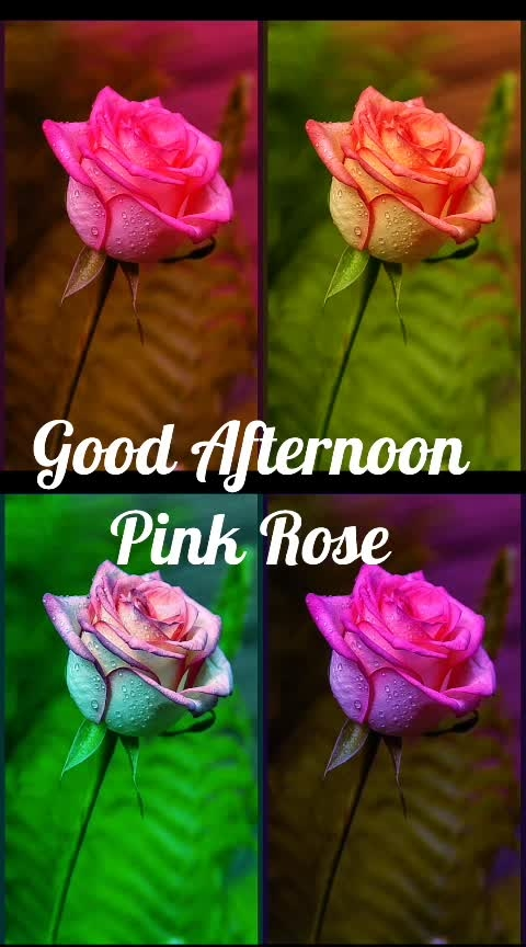 #pinkrose 🌹