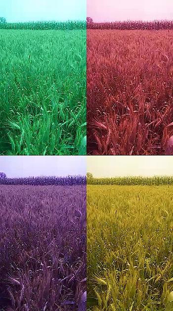 #Nature #Field #Wheat field #Maize field #Sufi #Romantic