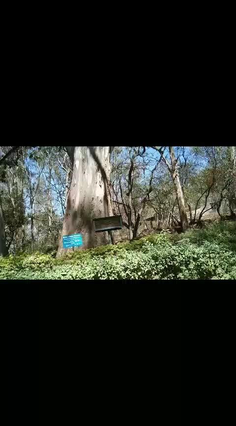 2000 yrs tree Nilagiri tree