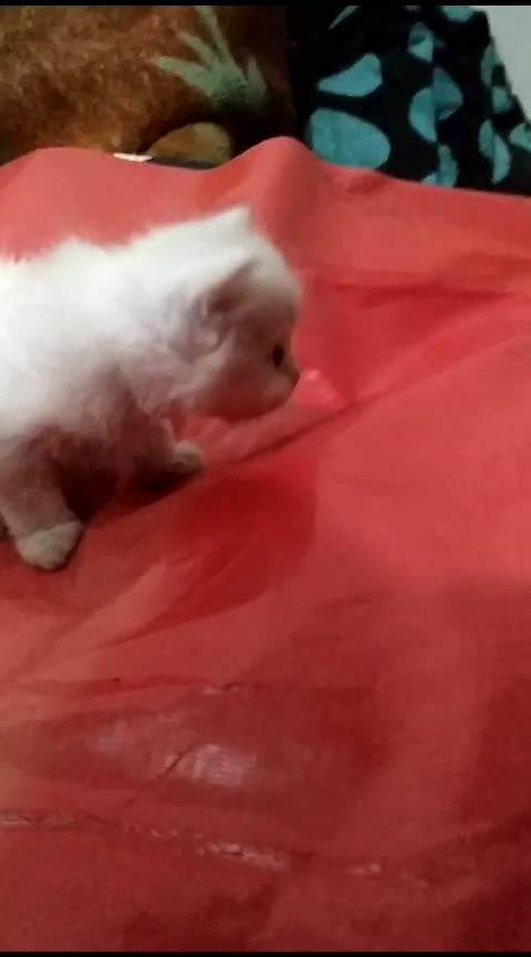 #copycat #cats #haha-tv #beats #trendeing #roposo #twitter #instagram #love #cute #cat #catlover