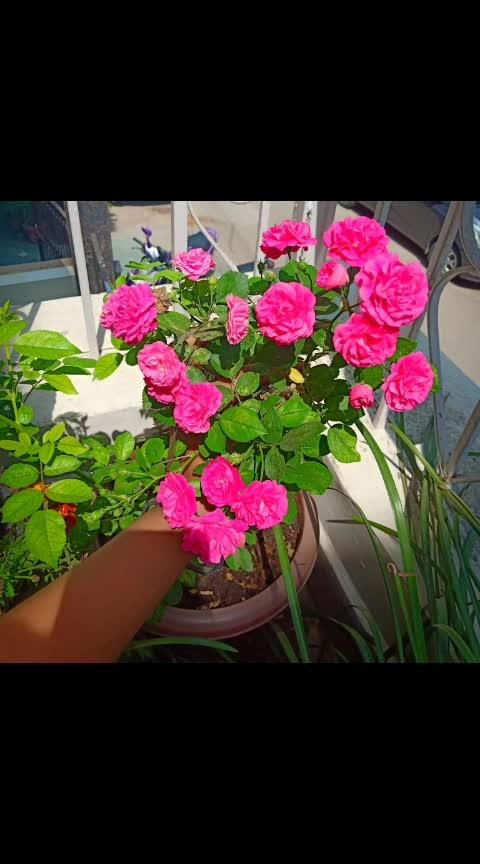#natureswonder #natureshots #rosepink #hibiscusflower #marigolds #coriander ..#terracegarden ..