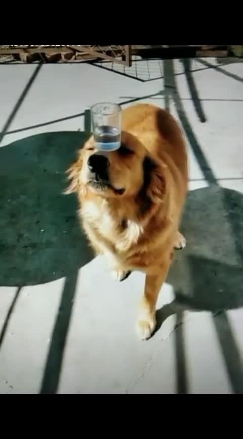 #roposo #talented #dog #balance