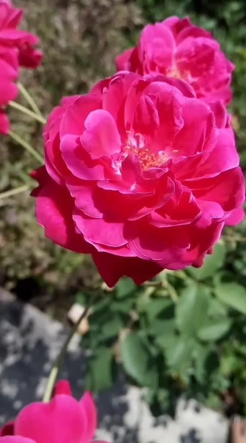 good morning roposo world #gulab #rose #flower