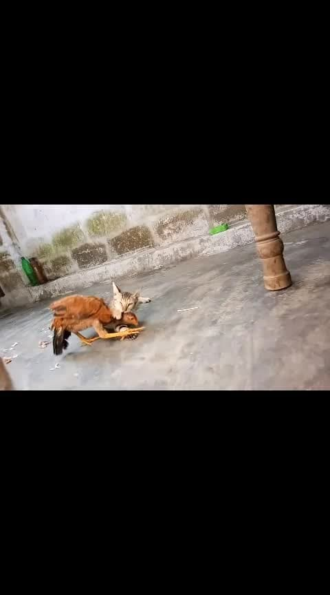 cat and hen fight #cat  #hen #fight #roposoboxoffice