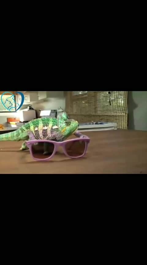 #wow #colorchanging  #chameleon #chameleoneyes #chameleons  #compilation #color-pop #roposo-wow #wows