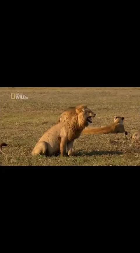 #lion  #superbcomedy