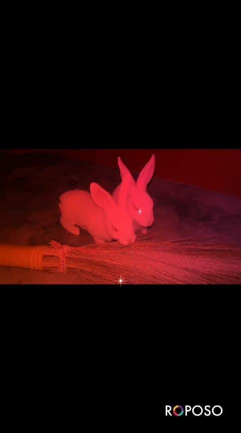 #rabbitlove #rabbit-fight