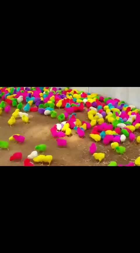 #wow #chickens #colorfulbirds #chicken #kodipilla