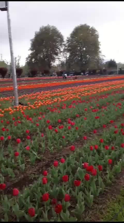 #kashmir#paradise#tulipgarden#love#nature