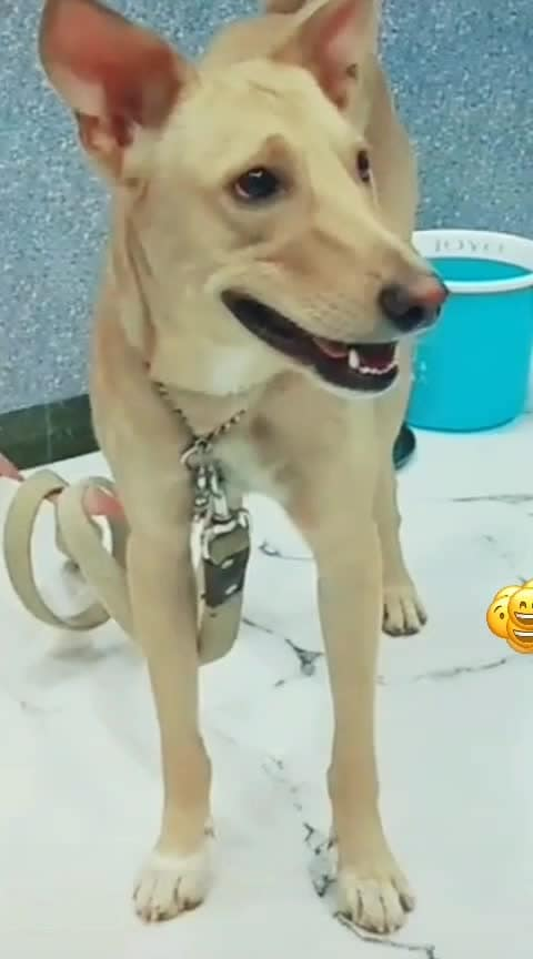 iske expressions ek dum 👌🏻👌🏻😂😂 #roposostarchannel #roposo_star #funnydog #roposo-haha #haha-tv #roposo-funny