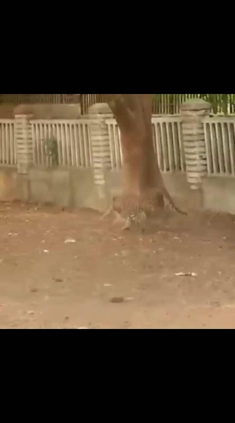 Wild Leopard rampage attack on people on the roof, road..#wild #leopard #rampage #attack #roposo