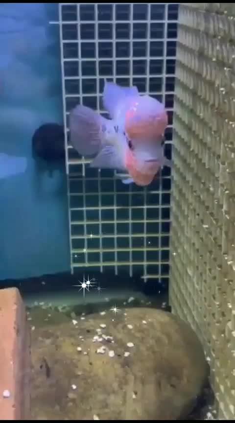 #most attractive aquarium fish😍😍😘😎🐋🐳#flowerporn #aquariumfish #beautifulcreation #caputred