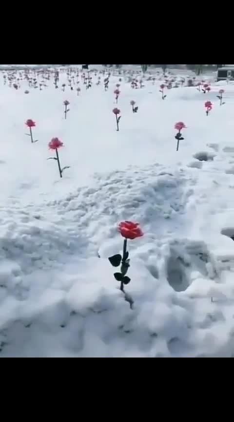 #redroses