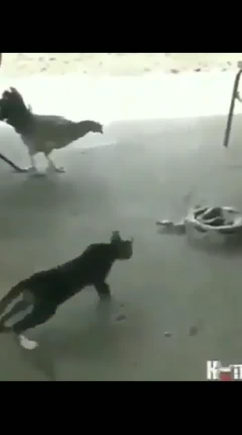 #cat #hen #snake