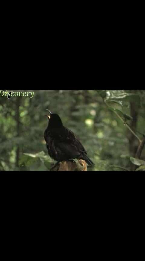 Victoria riflebird..