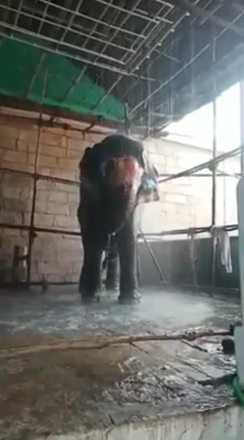 #elephant #elephantcamp #elephantlove #elephant-love-to-play #who-else-need-a-pet-elephant #elephantfalls #elephantbath #elephantbathing #shower #showers #showertime #showerwash #showerday #showerlove #showerofemotions