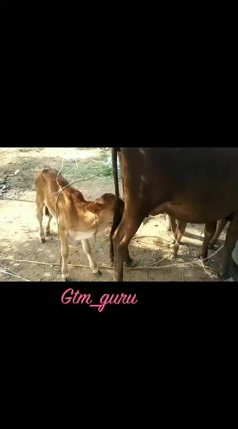 #ropso-love #ropso-star #rasingstar #animallover #cows #loveing #roposo-tamil #tamilvideo #tamilviral #viralstatus #viralvideo #video #amazing-video #amazing-creation #natue #tamil #in_tamilnadu #roposo-ha-ha-ha-babana-plzz-follow-me #aotofollowers #aotoviwes  #1000coins #aotocomment #roposo-famous #farmers #roposo-real #100kfollowersplease #1000 followers  #autolikes #like